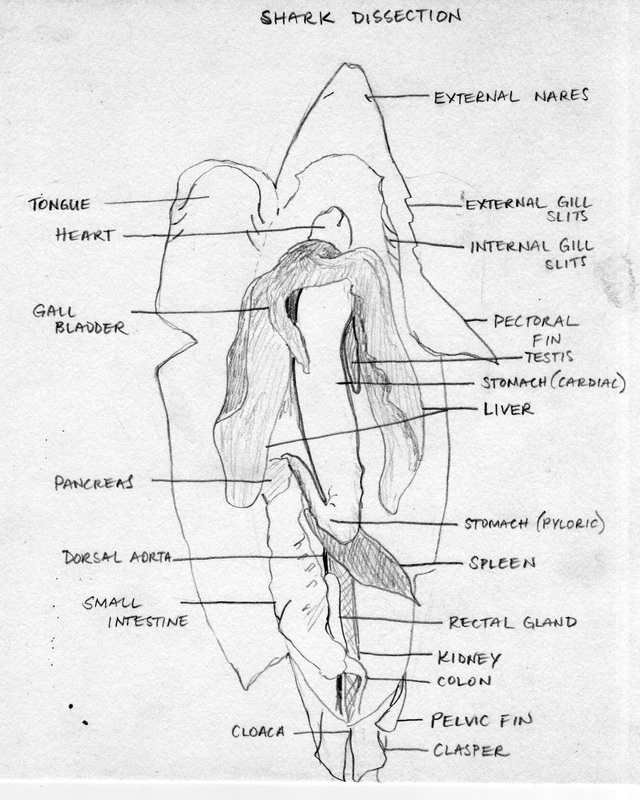 Mudpuppy Internal Anatomy Diagram - Auto Electrical Wiring Diagram •